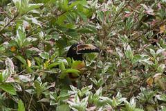 Collared Aracari (Byron Taylor) Tags: aracari collaredaracari birds nature wildlife canon canon7d costarica arenal