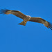 Black Kite - Milhafre-preto