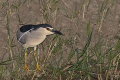 Night Heron - Goraz (anpena) Tags: birds birdphotography herons nightheron