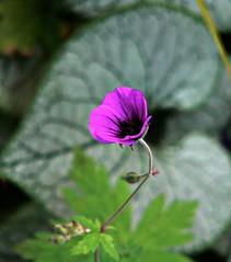 Appealing geranium (ronramstew) Tags: flower bloom garden birchmoor stmichaels aigburth liverpool summer panasonic lumix fz20 geranium