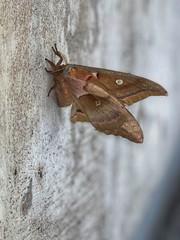 Polyphemus Moth (rodbuster396) Tags: polyphemus moth antheraea insect flying moths saturniinae saturniidae
