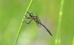 Cordulie de Walsh / Brush-tipped Emerald (alainmaire71) Tags: insecte insect odonata odonate libellule dragonfly cordulie emerald corduliidae somatochlorawalshii corduliedewalsh brushtippedemerald nature quebec canada
