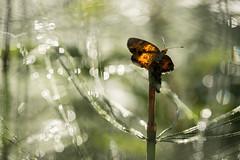 20190713 Moth (lkaldeway) Tags: bokeh summer drops morning moth wet nature water dew outdoors sunlight insect guttation orange light