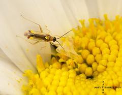 Tiny plant bug (John Chorley) Tags: plantbug nature closeup closeups johnchorley macro macros macrophotography insects insect 2019 wildlife garden