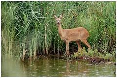european roe deer (capreolus capreolus) (arkadiusz_wuwer) Tags: europeanroedeercapreoluscapreolus deer sarna capreoluscapreolus nature przyroda polska poland silesia górnyśląsk canon7dmarkii tamron150600
