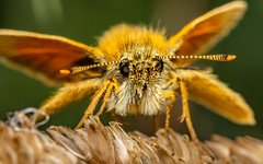 Small Skipper butterfly - Thymelicus sylvestris (stevenbailey7) Tags: nature countryside insects macro wldlife shot entomology biology earth animals plants focus invertebrate natural bbcearth pose detail nice top beautiful wales walesonline flickr tamron nikon colourful colour wildlife upclose outside garden new naturephotography macrophotography portrait ethology explore uk insect springwatch walk markings summer june cool eyes wings butterfly butterflies skipper copper golden lepidoptera tamron90mm