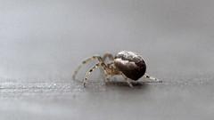 zygiella x notata (scilly puffin) Tags: zygiellaxnotata canoneosm50 sigma105 spider arachnid