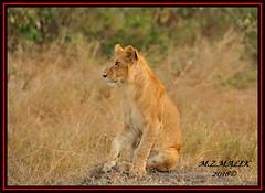 YOUNG SUB-ADULT MALE CUB (Panthera leo)  ......MASAI MARA......SEPT 2018. (M Z Malik) Tags: nikon d3x 200400mm14afs kenya africa safari wildlife masaimara keekoroklodge exoticafricanwildlife exoticafricancats flickrbigcats leo lioncubs ngc npc