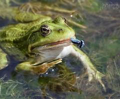Marsh Frog with a Damselfly dinner! (jameskearsley1) Tags: frog frogs marshfrog marshfrogs damselfly closeup amphibians cute beautiful colourful tophilllow nature naturephotographer naturephotography wildlife wildlifephotographer wildlifephotography nikonphotography nikon nikond3300 tamron150600mm tamron
