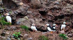 Few Puffins From todays Walk South of Aberdeen..