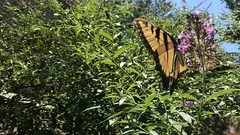 Tiger Swallowtail (_BuBBy_) Tags: summer butterfly insect bush afternoon tiger butterflies july insects swallowtail 2019