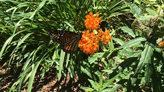 Monarch Butterfly On Milkweed (_BuBBy_) Tags: butterfly monarch milkweed on 2019