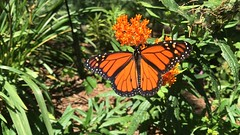 Monarch Butterfly On Milkweed (_BuBBy_) Tags: butterfly monarch milkweed on danaus plexippus 2019 virginia falls potomac sterling county loudoun