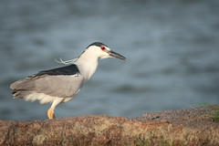 Black Crowned Night Heron (Brian_Burrell) Tags: wildlife blackcrownednightheron nightheron heron bird