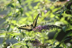 Tiger Swallowtail (_BuBBy_) Tags: summer butterfly insect bush afternoon butterflies july insects 2019