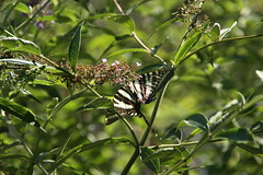 Zebra Swallowtail (_BuBBy_) Tags: summer butterfly insect bush afternoon butterflies july insects zebra swallowtail marcellus protographium 2019