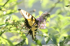 Tiger Swallowtail (_BuBBy_) Tags: summer butterfly insect bush afternoon butterflies july insects tiger swallowtail 2019