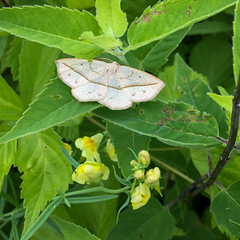 Butterfly Count-3038.jpg (Mully410 * Images) Tags: inchwormmoth ahats minnesota bugs ardenhillsarmytrainingsite stpaulaudubon insect butterflycount moth