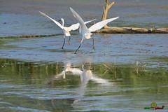 A-LUR_8518 (OrNeSsInA) Tags: trasimeno natura birdwatching umbria toscana nikon canon lago airone libellula macro lucertola itali