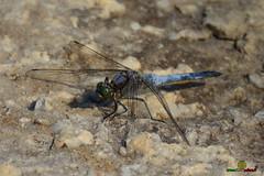 A-LUR_8469 (OrNeSsInA) Tags: trasimeno natura birdwatching umbria toscana nikon canon lago airone libellula macro lucertola itali