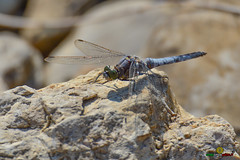 A-LUR_8442 (OrNeSsInA) Tags: trasimeno natura birdwatching umbria toscana nikon canon lago airone libellula macro lucertola itali