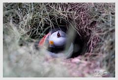 B57I2420-Puffin,-Fratercula-arctica (duncancooke.happydayz) Tags: fratercula arctica puffin puffins sea birds distinguishedbirds uk naturesgreenpeace nature british wildlife farne islands northumberland north east bird birdperfect