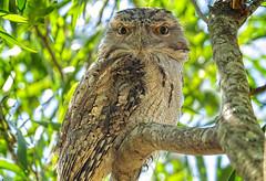 in the shadows - a tawny frogmouth (Fat Burns ☮) Tags: tawnyfrogmouth podargusstrigoides owl frogmouthowl mopoke bird australianbird fauna australianfauna nikond500 nature nikon200500mmf56eedvr wildlife australianwildlife australia