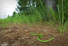 Smooth Green Snake (Nick Scobel) Tags: smooth green snake grass opheodrys vernalis lioclorophis colubrid meadow prairie emerald colorful bright texture camouflage