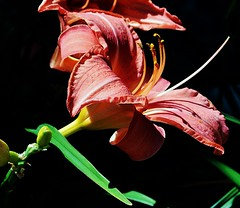 LILY MAXIMUS, ACA PHOTO (alexanderrmarkovic) Tags: tigerlily acaphoto lilymaximus