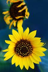 Old and New (TPorter2006) Tags: tporter2006 texas plano july 2019 sunflower flower yellow arborhillsnaturepreserve golden old new