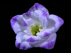 Still ... You Turn Me On ... (High-Hopes) Tags: flower blossom blooming darkness night makro macro heart eustoma