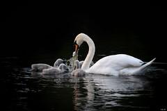 Mute swan feeding cygnets! (Nina_Ali) Tags: swanandcygnets blackbackground waterfowl nature