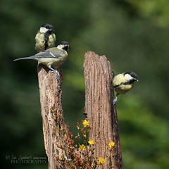 and then there were three (Nanooki) Tags: ©suelambertlrpscpagb week42 birds greattit wildlife nature millerswood