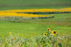 Girasoli nel Monferrato (bluestardrop - Andrea Mucelli) Tags: girasoli sunflowers monferrato piemonte piedmont italia italy