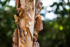 Peeling of the Bark (Orbmiser) Tags: nikonafpdx70300mmf4563gedvr d500 nikon oregon portland tree trunk bark peeling texture riverplace waterfrontpark