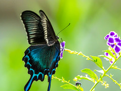 Long skirts (dayonkaede) Tags: nature insect butterfly black wing blue flower leaf powder butterflypowder olympus em1markii m40150mm f28 mc20