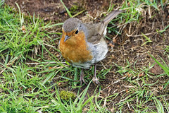 Robin with deformed foot (dee kells) Tags: robin wildbird wildlife gardenbird garden nikond7200 tamron150600 hedgerow