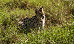 Serval (Tiago_Moreira23) Tags: serval africa kenya amboseli national park safari canon tamron 70300 nature free animals trip old camera good photos 7d