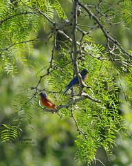 Painted Bunting AND Bluebird (Corgibird) Tags: birds blue backyardbirds paint paintedbunting bluebird juvenilenightheron crawfish turtle softshellturtle creaturefromtheblacklagoon scary birding nature naturallight nativeplants outdoors texas carrolltontexas parks colorful color warmcolors green red brown water waterbirds