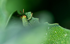 You lost, I 've seen you :) (stevebarroso) Tags: macro insect grasshopper nature