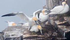Mating on the nest (Photosuze) Tags: mating birds avians aves northerngannets animals nature wildlife nest pair two
