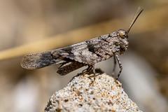 After the Lion king, the grasshopper king ! (stevebarroso) Tags: macro nature grasshopper wild