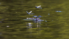 On golden Pond (The Rustic Frog) Tags: dragon flies dragonflies damselflies damsel damsels tuquiose blue wild insects nature brandon marsh reserve uk england midlands central west flying water pool pond surface canon lens sir camera