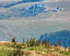 Tule Elk Taking in the View (lennycarl08) Tags: wildlife pointreyesnationalseashore animalplanet tuleelk elk