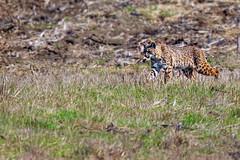Bobcat #32 (lennycarl08) Tags: wildlife pointreyesnationalseashore animalplanet bobcat