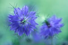 nigella 9844 (junjiaoyama) Tags: japan flower plant nigella blue spring macro gorgeous
