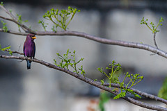 GHIANDAIA MARINA  --  BROAD-BILLED ROLLER (Ezio Donati is ) Tags: uccelli birds animali animals natura nature alberi trees foresta forest acqua water westafrica costadavorio areataabo
