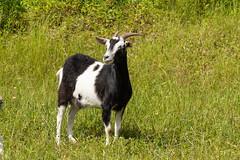 KIKO GOAT (nsxbirder) Tags: animals goat indiana kiko ripleycounty