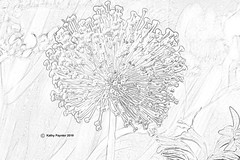 Allium Pencil Drawing 9852 (kathypaynter.com) Tags: allium photoshop pencil pencildrawing photoshoppencildrawing edits playingwithphotoshop