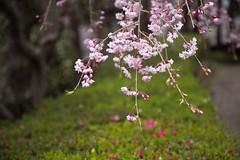 Prunus spachiana (Errai 21) Tags: 枝垂れ桜 cherry blossom  枝垂れ桜 サクラ 桜 cherryblossom 花 flower 花写真 flowerphoto 花が好き photography 写真好きな人と繋がりたい 写真撮ってる人と繋がりたい  prunus spachiana